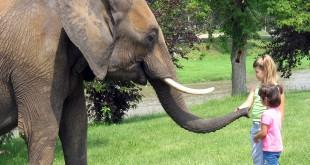 فيل يقتل طفلة مغربية بحجر