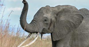 الفيَلة في تايلاند ترسم وتلعب كرة قدم