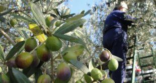 زيتون حماة والساحل.. انخفاض كبير في الإنتاج وأسعار مرتفعة