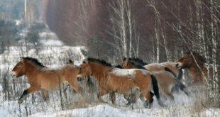 دراسة: اختفاء الخيول البرية عن وجه الأرض