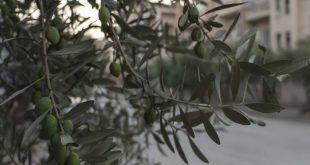 """ذهَبُ إدلب """"الأخضر"""".. في أراضيها وشوارعها"""